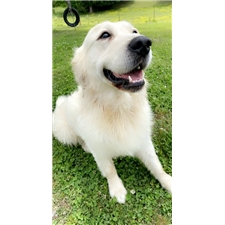 View full profile for Golden Puppies Usa