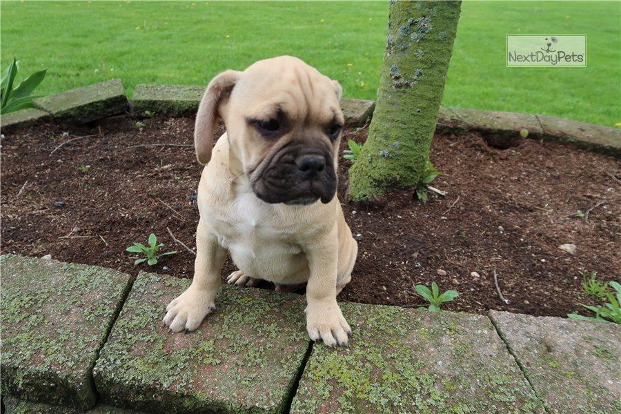 Ala Two: Alapaha Blue Blood Bulldog puppy for sale near ...