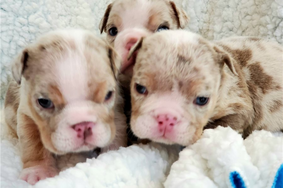 Accolades and breeding experience for your English Bulldog breeder
