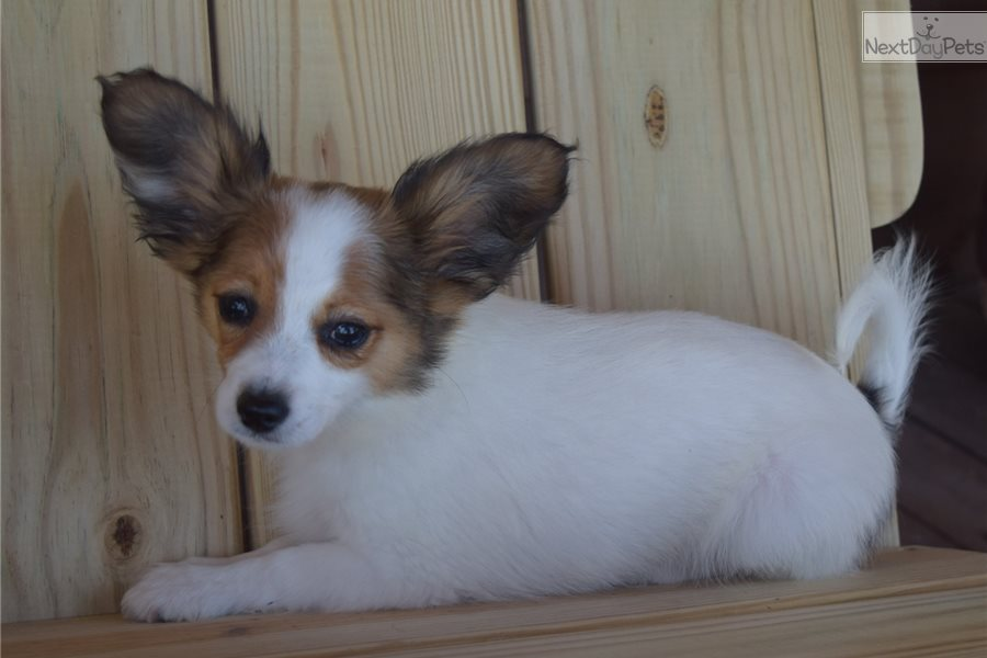 Papillon Dog For Sale Bc