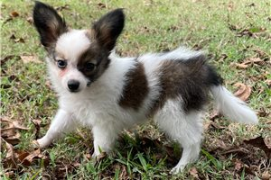 Picture of AKC Pap Male