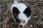 Picture of AKC Rochelle's White and black Papillon Female