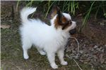 Picture of AKC Rochelle's White and Red Sable Papillon Female