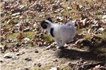 Picture of AKC White and Black Papillon Female