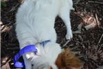 Picture of AKC Destiny's White and Sable Male -Neutered