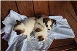 Picture of AKC Destiny's White and Sable Female 1