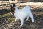Picture of AKC Destiny's White and Red Sable Male
