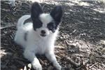 Picture of AKC Rochelle's White and Black Papillon Male
