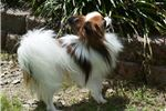 Picture of AKC Rochelle's White and Black Papillon Male 1