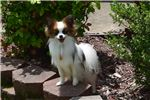 Picture of AKC Destiny's White and Red Sable Male 1