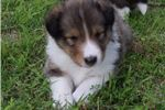 Picture of AKC Cinda's Sable Male 1