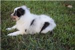 Picture of AKC Indy's Blue Merle Female 1