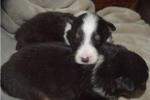 Shetland Sheepdog Shelties for sale