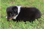 Picture of AKC Cinda's Tri Colored Female 2
