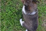 Picture of AKC Cinda's Sable Male 2