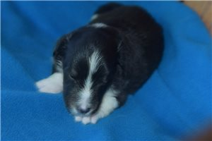 Picture of Akc Sages Boy