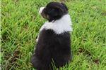 Picture of AKC Cinda's Tri colored male