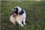 Picture of AKC Indy's Blue Merle Female 2