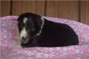 Picture of Akc Sages Girl