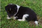 Picture of AKC Cinda's Tri Colored Female 1