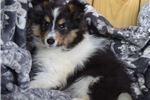 Picture of AKC Jaden's Tri Colored Female 1  Small