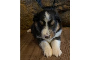 AKC Indys Boy | Puppy at Available soon of age for sale