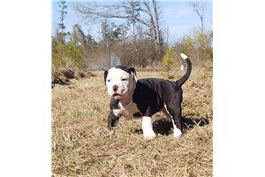 Alapaha Blue Blood Bulldogs for sale