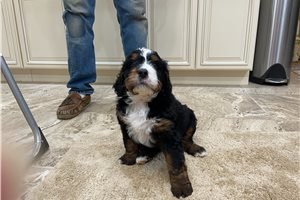 Titan | Puppy at 7 weeks of age for sale