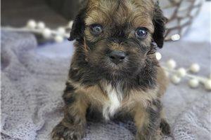 Picture of a Cockachon Puppy