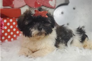 Tinker - Shichon for sale
