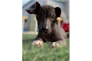 Picture of a Xoloitzcuintli Puppy