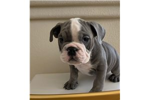Picture of English Bulldog