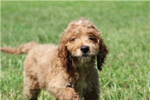 Little Baxter | Puppy at 10 weeks of age for sale