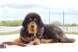 Tibetan Mastiffs for sale