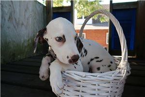 Dalmatians for sale