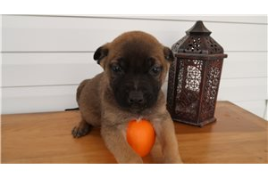 Butch | Puppy at 9 weeks of age for sale