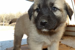 Darin | Puppy at 5 weeks of age for sale