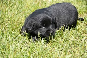 Starburst | Puppy at 3 weeks of age for sale