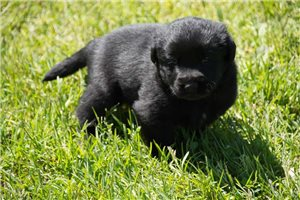 Milo | Puppy at 3 weeks of age for sale