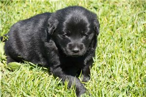 Princess | Puppy at 3 weeks of age for sale