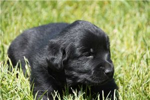 King | Puppy at 3 weeks of age for sale