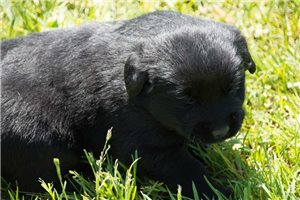 Buck | Puppy at 3 weeks of age for sale