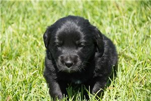 Queen | Puppy at 3 weeks of age for sale