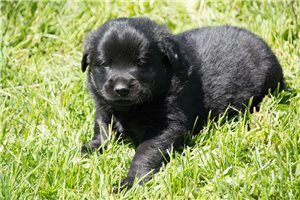 Rex | Puppy at 3 weeks of age for sale