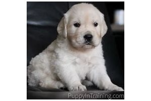 English Golden Retrievers for sale