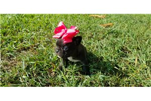 Molly  - French Bulldog for sale