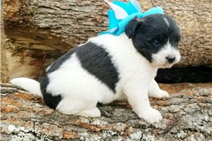 Picture of a Poo-Shi Puppy