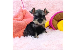 Miniature Schnauzers for sale