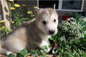 Alaskan Malamutes for sale