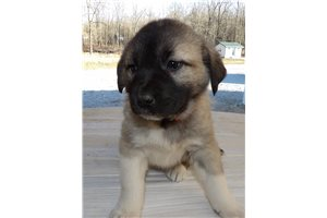 Dede | Puppy at 5 weeks of age for sale